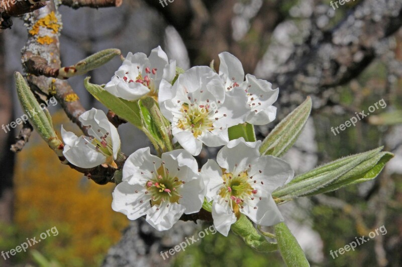 Pear Pear Blossom Blossom Bloom Branch