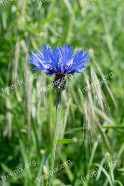 Cornflower Knapweed Rock Blum Centaurea Flower
