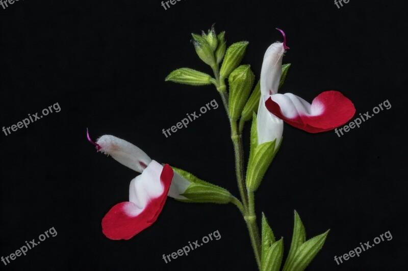 Salvia Flower Hotlips Nature Bloom