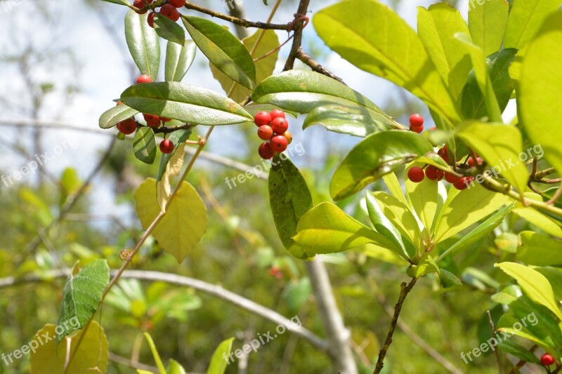 Red Berries Leaves Green Outdoors