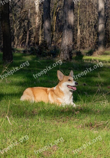 Welsh Corgi Pembroke Corgi Dog Pet Animal